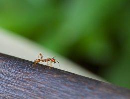 Ako sa zbaviť mravcov u Vás doma?